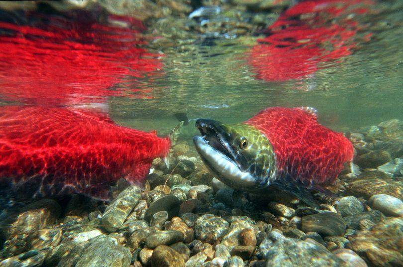 Sockeye salmon in spawning area. (Associated Press)