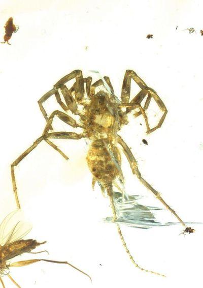 The holotype, or first specimen, of the new arachnid species Chimerarachne yingi. (Bo Wang / Bo Wang)