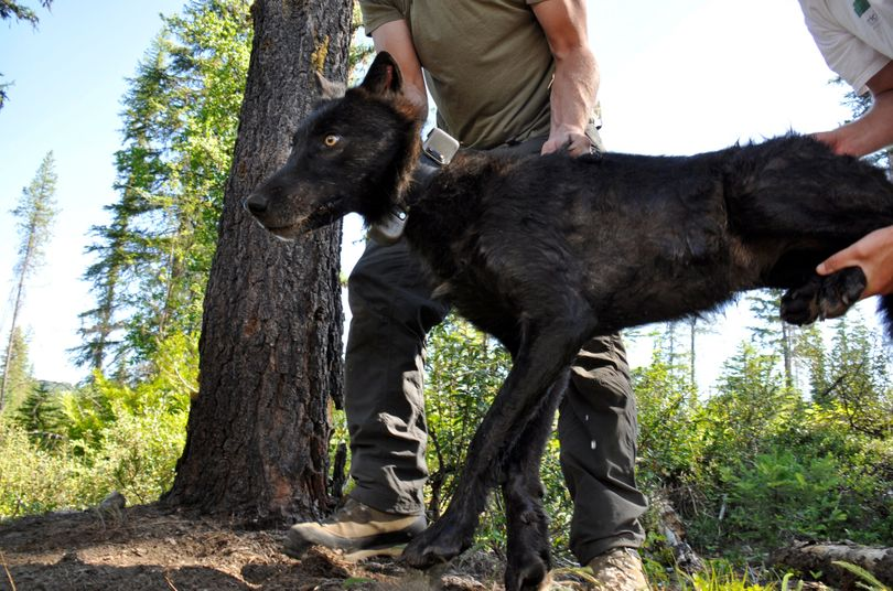 Ruby Creek Wolf 47 is set in the shade by Washington biologists after being trapped, tranquilized and fitted with a radio collar in July. (Rich Landers)