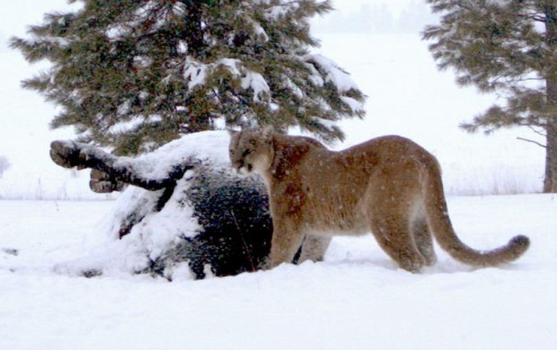 Mountain Lions Keep Wildlife Police Busy The Spokesman Review