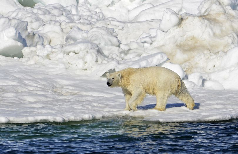 In this June 15, 2014, file photo, a polar bear dries off after taking a swim in the Chukchi Sea in Alaska. (Brian Battaile / U.S. Geological Survey)