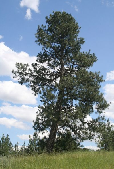 This ponderosa pine, known as the Treaty Tree, stands on Peone Prairie and is believed to have held a truce flag flown by Baptiste Peone during the 1800s.