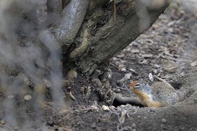 A ground squirrel sits by its burrow at the base of a tree in Finch Arboretum in Spokane Monday. The squirrels eat tree roots and create walking hazards by leaving dozens of holes in the ground.  (Jesse Tinsley / The Spokesman-Review)