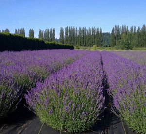 Photo of lavender fields at Woodinville Lavender. (photo courtesy Woodinville Lavender)