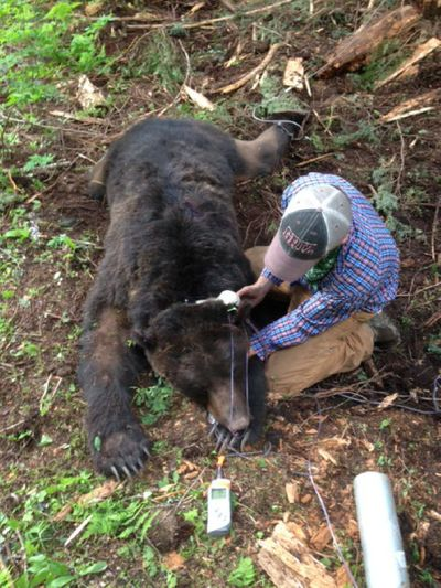 U.S. Fish and Wildlife Service staffer Matt Grode fits a GPS collar on a 430-pound male grizzly bear he and Alex Welander trapped and tranquilized for ongoing research. The bear was trapped and released north of Nordman, Idaho, on June 21, 2014.