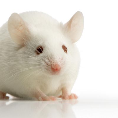 Cancer researchers investigating the role of a sepcific protein in cancer found that a natural protein turned out to be a powerful regulator of metabolism, helping obese laboratory mice lose some of their fat. (Dreamstime / Tribune News Service)