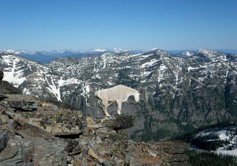 Mountain goat on Scotchman Peak. (Phil Hough)