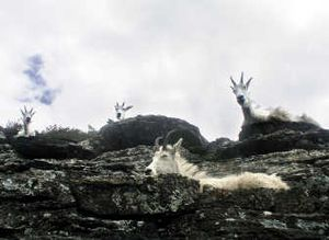 Species like mountain goats that live at high elevations will lose their habitat and are likely to go extinct.Associated Press
