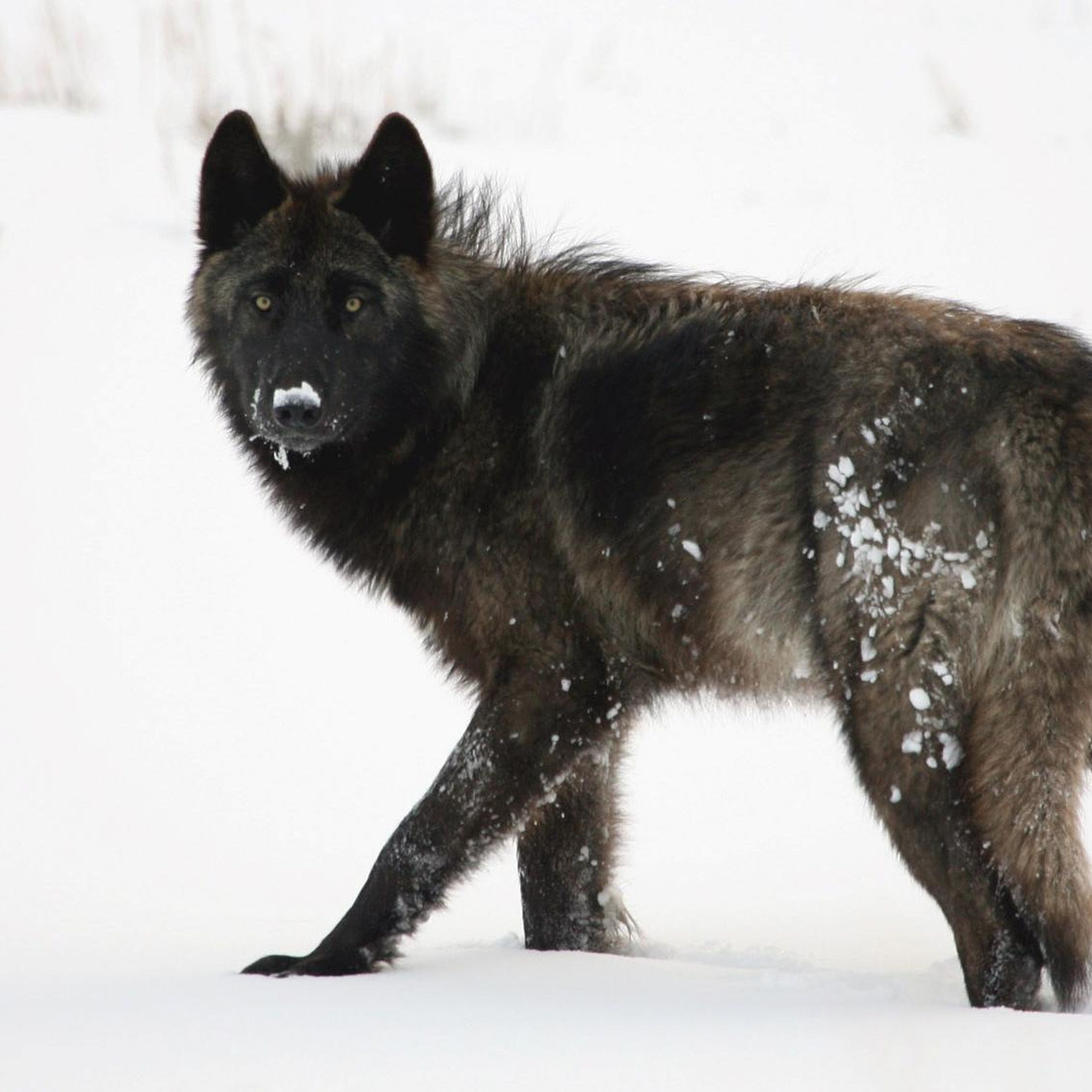 yellowstone wolf s killing raises questions the spokesman review yellowstone wolf s killing raises