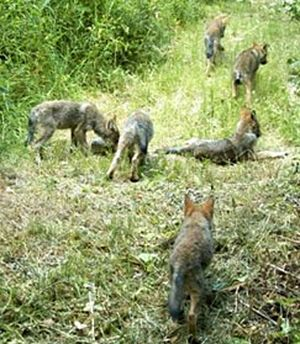 Wolf pups from the Methow Valley Lookout Pack were caught on a motion-activated camera in 2009. (Conservation Northwest)