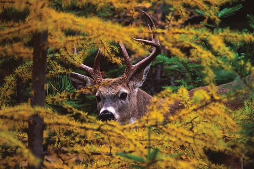 A buck white-tailed deer pees through a forest of yellowing larch. (Donald Jones)
