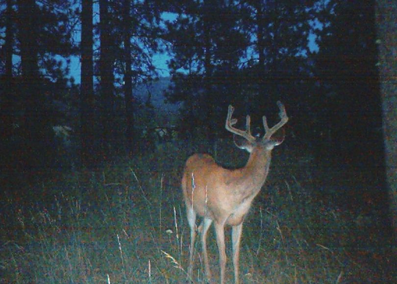 This whitetail buck was photographed the evening of July 23, 2011, in Stevens County by a motion-activated scouting camera set up by Kevin Scheib of Colville.