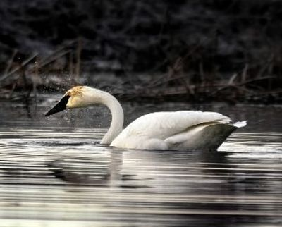 This male trumpeter swan, dubbed Solo, returned to Turnbull National Wildlife Refuge for 34-47 for years until he disappeared in the winter of 2010-2011. (FILE The Spokesman-Review)