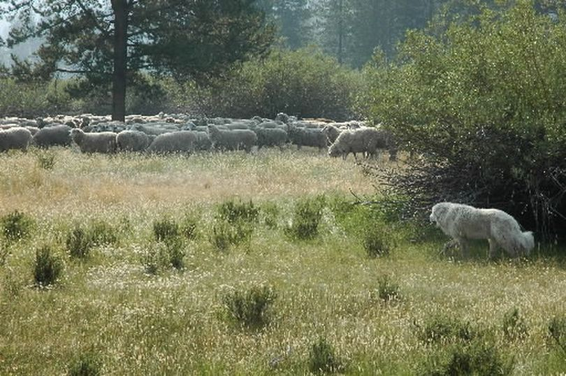 A great Pyrenees guard dog keeps a watchful eye over a large band of ewes at Lava Lake Land & Livestock, grazing near the North Fork of the Big Lost River northeast of Ketchum, Idaho, to help keep the sheep from falling prey to wolves. (Jason Kauffman / Associated Press)