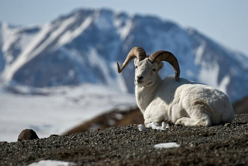 A Dall sheep ram rests in Denali National Park. (Denali National Park and Preserve )