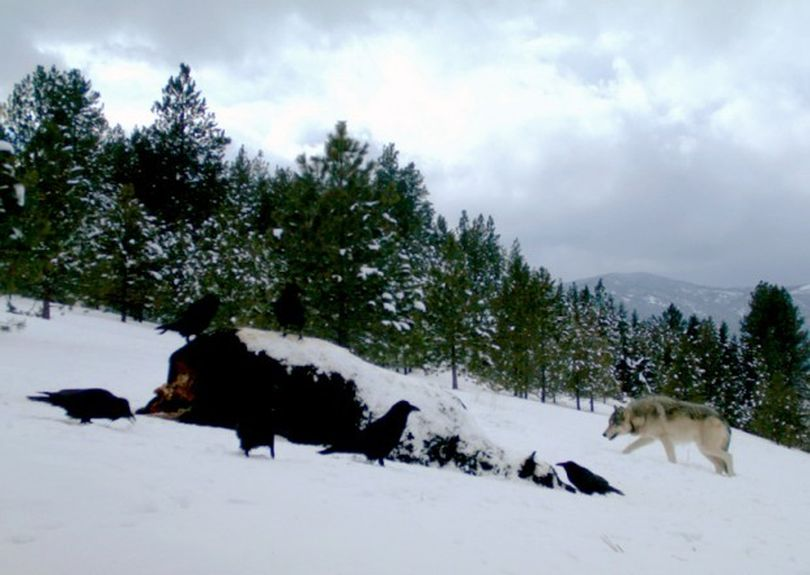 A gray wolf, photographed by an automatic field camera, came to feed on an Angus bull carcass above the South Hills recently.  (Courtesy photo)