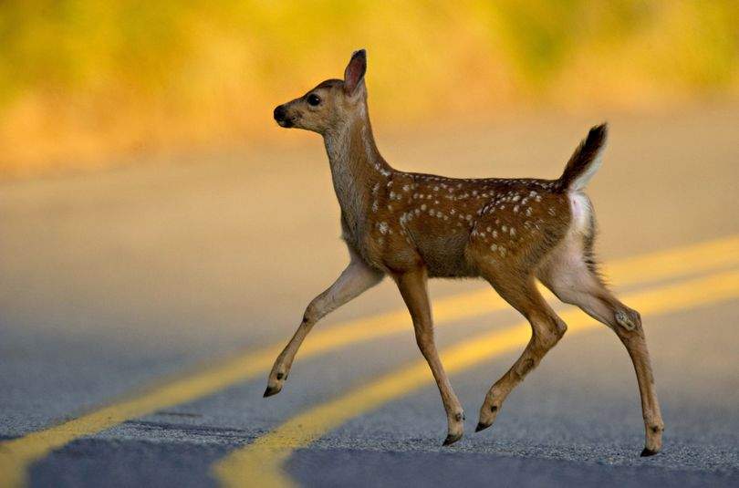 A blacktail deer fawn crosses a country road near Oakland, Ore., on Thursday, July 8, 2010. The blacktail deer is common in northern California, western Oregon, Washington, in coastal and interior British Columbia, and north into the Alaskan panhandle.  (Credit Image: � Robin Loznak) (Robin Loznak / Robin Loznak)
