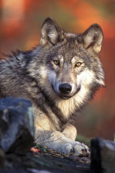 Gray wolves were occupying territories throughout Idaho last year, but the overall population fell. (Associated Press)