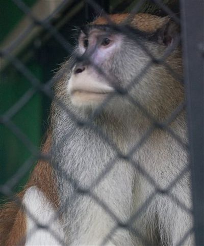 A Patas monkey looks out of his cage at Zoo Boise after his cage mate was severely injured and died in Boise, Idaho on Saturday, Nov. 17, 2012. Police are investing an early monring break-in at at the zoo. The injured monkey was found shortly after suspects were spotted and ran off. (AP Photo/The Idaho Statesman, Katherine Jones) (Associated Press)