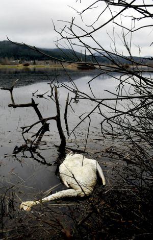 As the swans feed at the marsh, they swallow polluted sediment that can lead to their deaths. (Kathy Plonka / The Spokesman-Review)