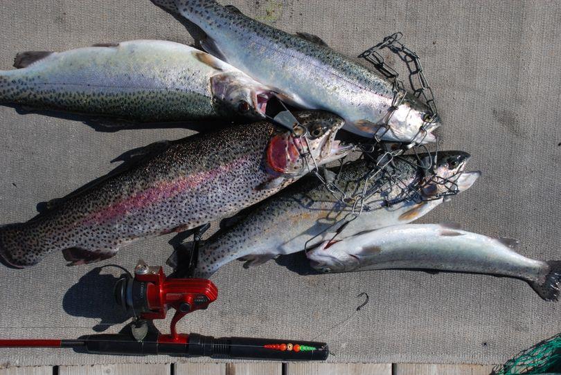 A stringer of hatchery-raised rainbow trout. (Rich Landers)