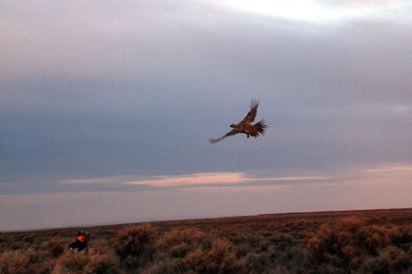 A male sage grouse that had been captured in Oregon is released before sunrise with 24 others into their new home in the sage lands of Lincoln County, Wash., in this file photo. (Rich Landers / The Spokesman Review)