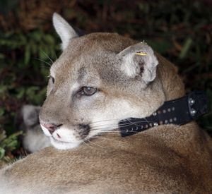 A cougar begins to wake from a drugs after being fixed with a radio collar for monitoring. (Associated Press)