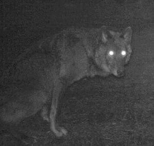 Remote camera photo of a black wolf that appears to be a female. Photo captured 5/4/2014 in the same area as OR7. (U.S. Fish and Wildlife Service)