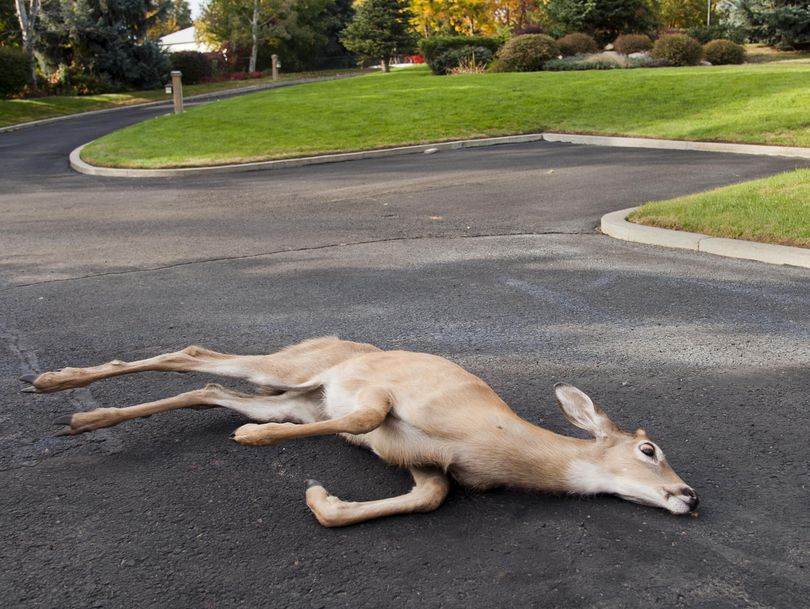 A white tailed-deer struggles to get to its feet while clinging to life in Bill Fanning's driveway on East Maringo Drive near Argonne Road on Friday. (Dan Pelle)