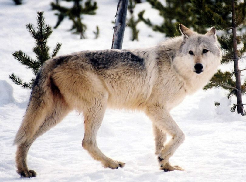 A gray wolf (Associated Press)