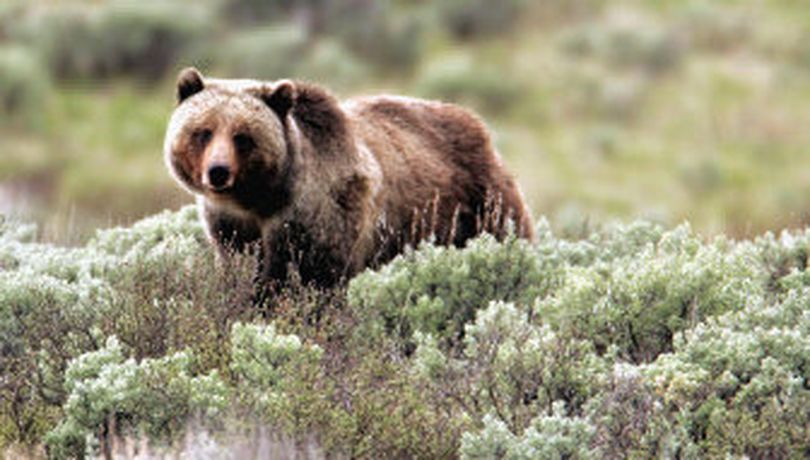 Grizzly bear populations are slowly growing in the Norther Rockies to the point that they may be considered for removal from endangered species protections.  (Associated Press)