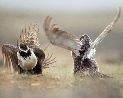 """A male sage grouse, sometimes called the """"next spotted owl,"""" dances for the attention of a female sage grouse. (Associated Press)"""