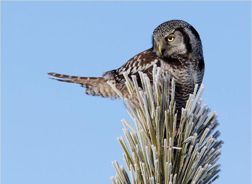 Northern hawk owl. (Tom Munson)