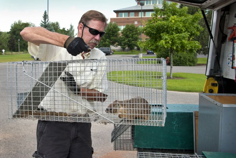 Curt Buyser of Critter Control removes a captured yellow-bellied marmot near the Gonzaga University baseball field earlier this month. (Dan Pelle)