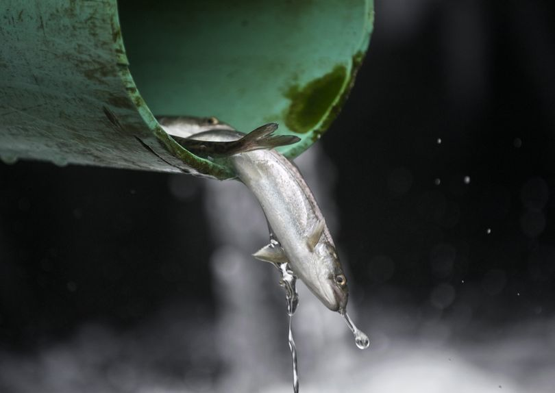 Hatchery fish are being released early in hopes they'll survive. (Associated Press)