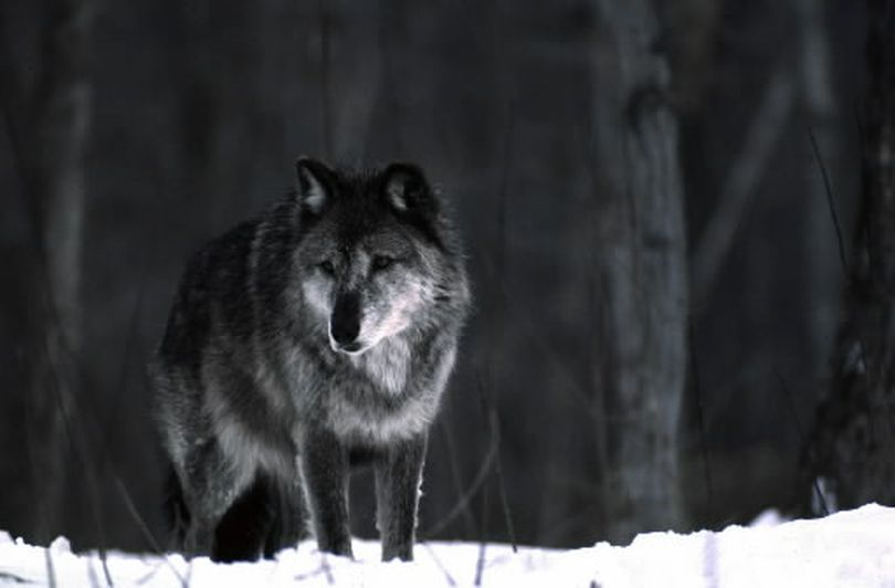 In this 1987 photo released by the Michigan Department of Natural Resources, a wolf stands in the snow near Ishpeming, Mich. Once hunted to near extinction, gray wolves in the western Great Lakes region and the northern Rocky Mountains have rebounded. (courtesy)