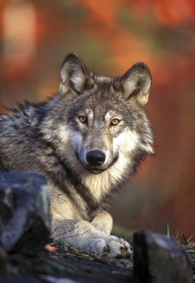 Gray wolves can be easily distinguished from coyotes. (Associated Press)