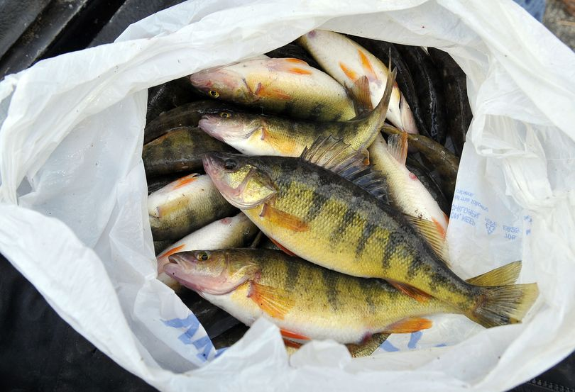 These perch, destined for a fish fry, were hooked at Fernan Lake on Friday by two fishermen from Osburn, Idaho.