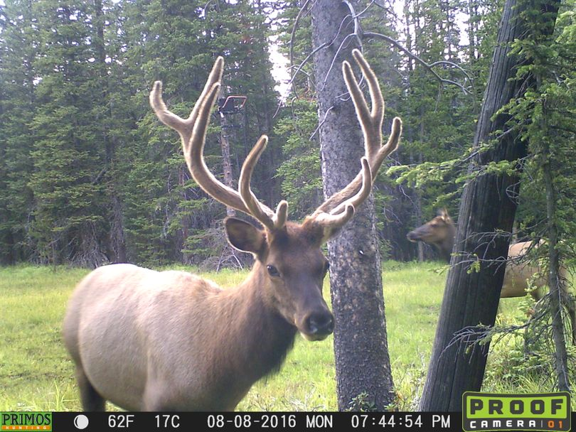 A bull elk in velvet visits a wallow in August. Note the bowhunter's tree stand ready for the September season in the background. (Courtesy)