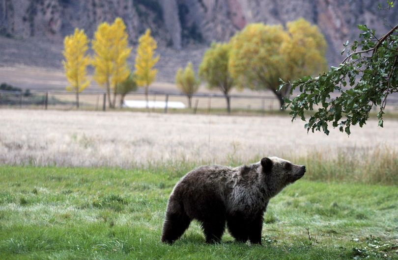 A grizzly bear cub searches for fallen fruit beneath an apple tree Sept. 25, 2013, a few miles from the north entrance to Yellowstone National Park in Gardiner, Montana. (Associated Press)