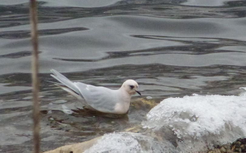 A rare sighting of a Ross's gull in Okanogan County was documtented in this photo by Washington Department of Fish and Wildlife biologist Jeff Heinlen. (Jeff Heinlen / Washington Department of Fish and Wildlife)