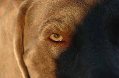 A Weimaraner named Lear comes back from a walk  at the fairgrounds. Lear, owned by Susan and Eric Erpenbeck of Pasco, was only one point, which is one grand champion win, away from AKC champion status.   (The Spokesman-Review)