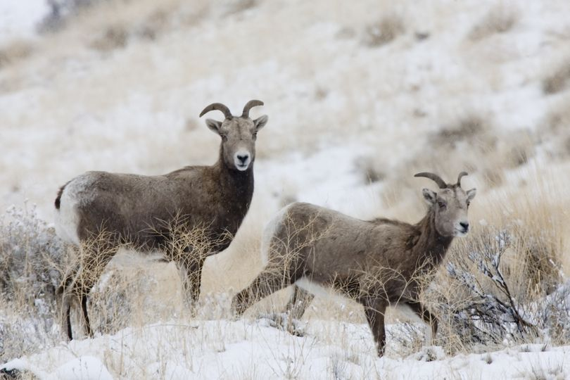 Bighorn sheep graze  in the Yakima River Canyon in 2008.  (File Associated Press)