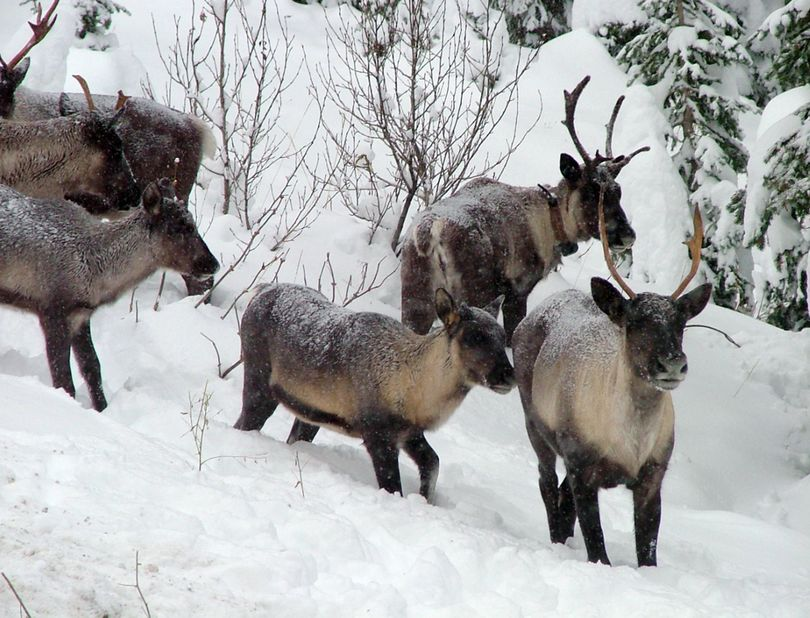 Part of a Southern Selkirk caribou herd move north through the Selkirk Mountains in November 2005. About 18 caribou remain in the South Selkirk herd. (Associated Press)