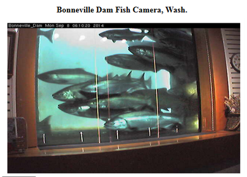 A one-day record 67,024 fall chinook went up the Bonneville Dam fish ladder and past the viewing window on Sept. 7, 2014.