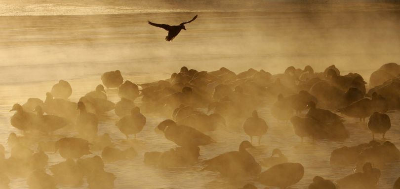 A sub-zero air temperature produces fog around waterfowl huddled on a pond at sunrise.  (Associated Press)