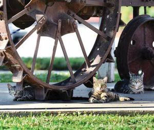A trio of wild felines take up residence under a vintage tractor along Main Street in Asotin. A stray cat issue has become an epidemic, with cats having free roam over the small town along the Snake River. (Kyle Mills/Lewiston Tribune photo)