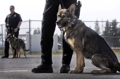 Spokane police Officer Dan Lesser's new K9 partner, Rav, sits by his side at the Police Academy on Wednesday. At rear is Var, who recently retired.  (Christopher Anderson / The Spokesman-Review)