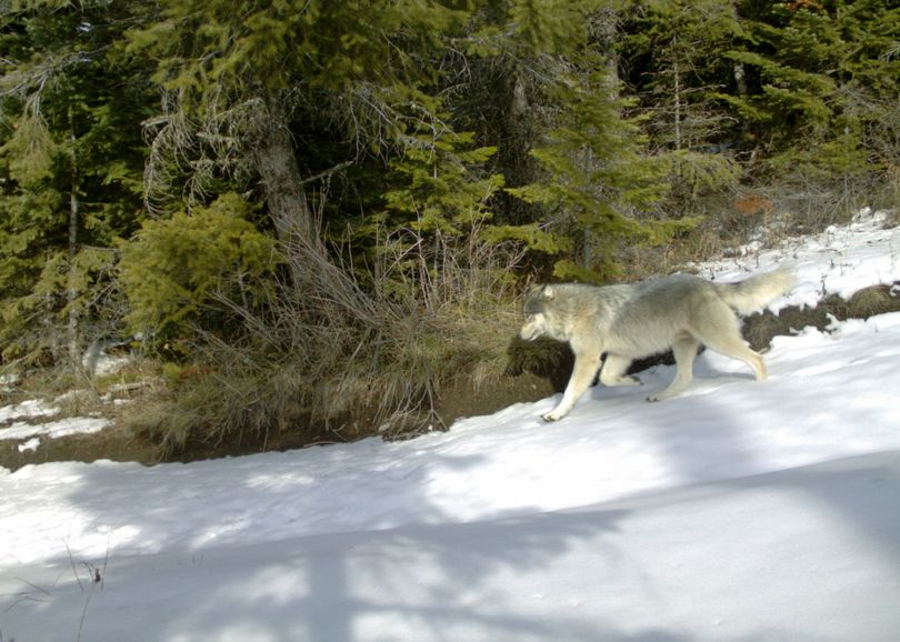 An adult wolf from Oregon's Snake River Pack. (Oregon Department of Fish and Wildlife)