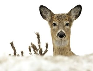 Deer and other big game are in weak condition after surviving a winter and need to be left undisturbed as much as possible during spring as they regain their fat stores. (Associated Press)
